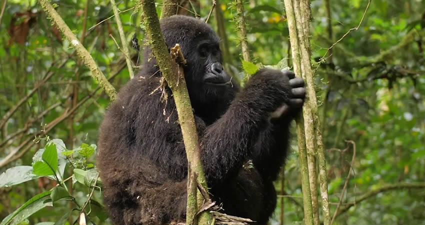 3 Days Gorilla Trekking in Bwindi