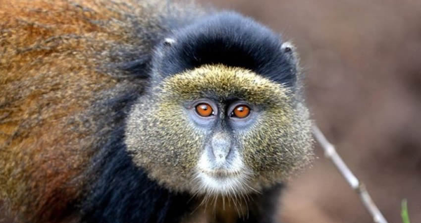 2 Days Golden Monkey Trekking Safari