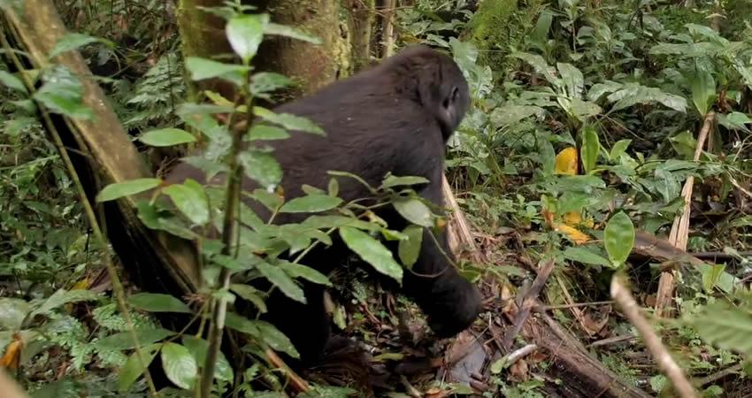 5 Days Gorillas and Chimps Trekking