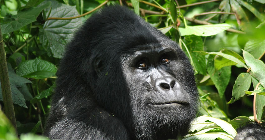 4 Days Double Gorilla Tracking Safari