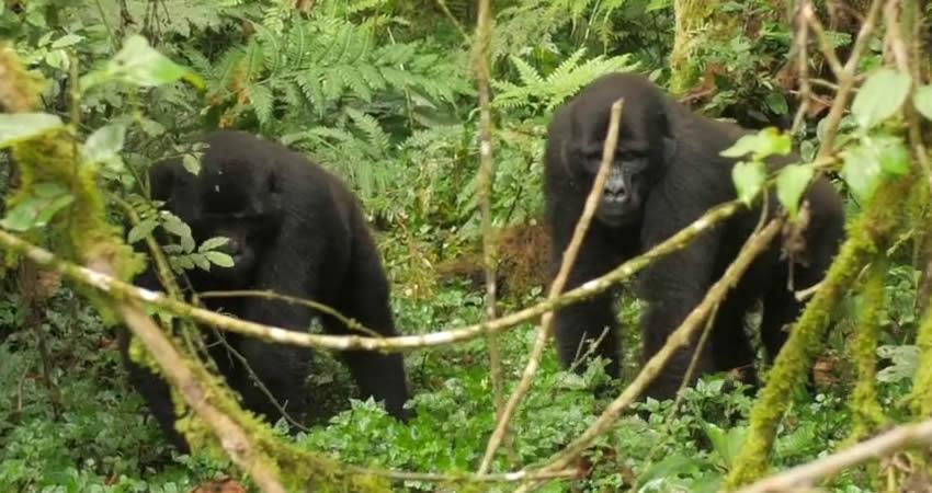 5 Days Gorillas and White Water Rafting Safari
